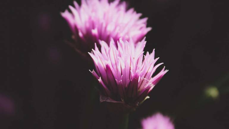 Alternative to HRT: Red Clover